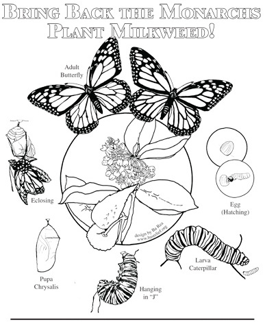life cycle of butterfly coloring page complete