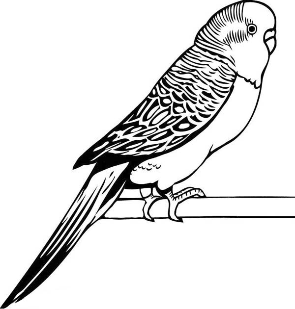 awesome drawing of parakeet coloring page coloring sun