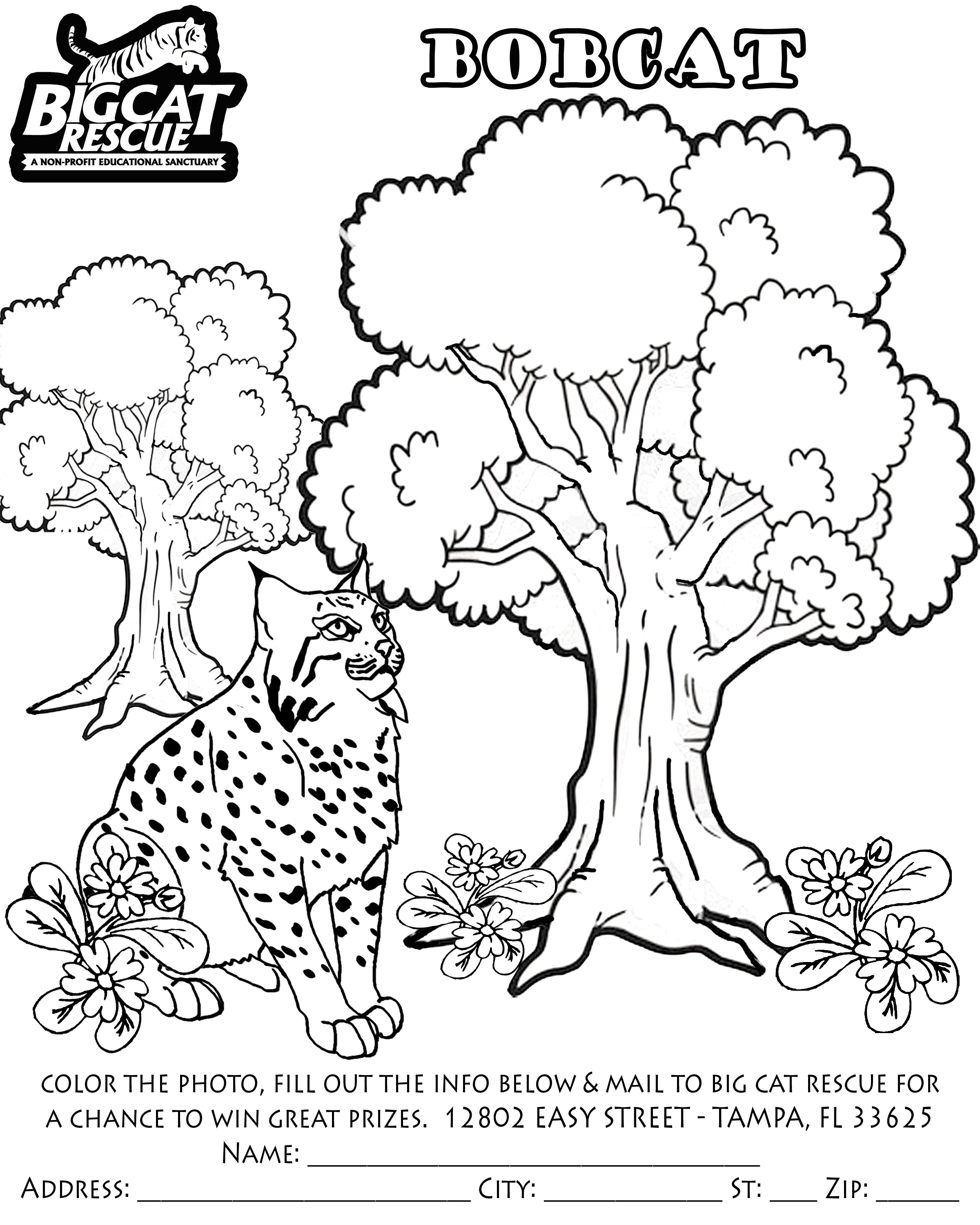 Bobcat Coloring Pages To Download And Print For Free