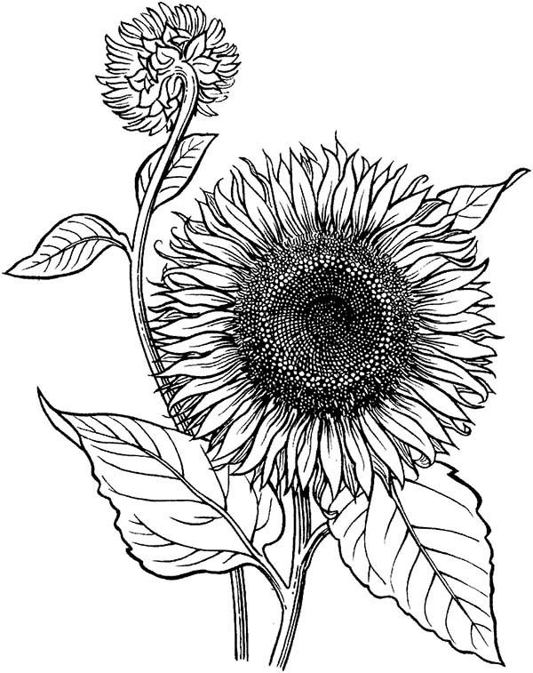 sunflower is blooming coloring page  download & print