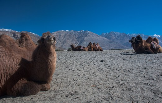 Bactrian Camels at Nubra valley, Ladakh