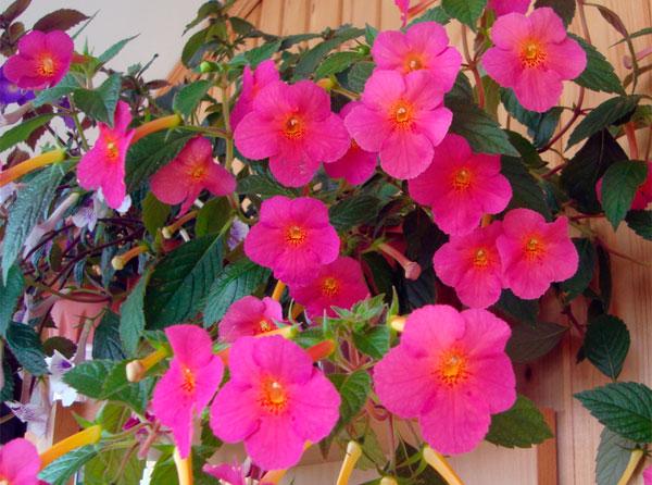 Фото цветка ахименеса Ice tea