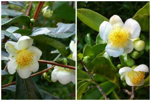 Camellia sinensi