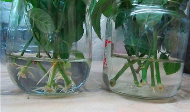 Размножение плетистой розы черенками