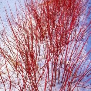 Виды дерена: белый, кроваво-красный и другие. Уход и размножение