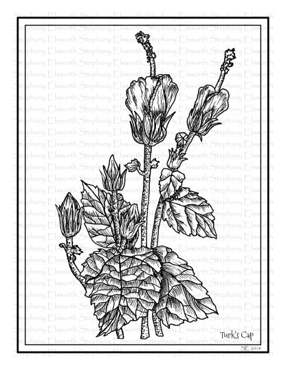Turks Cap Coloring Page