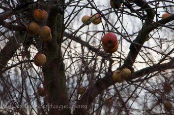 Stubborn apples