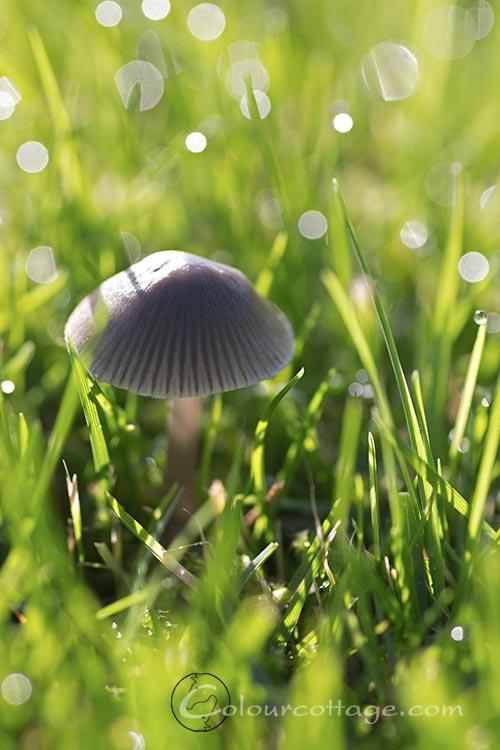 littleshroom