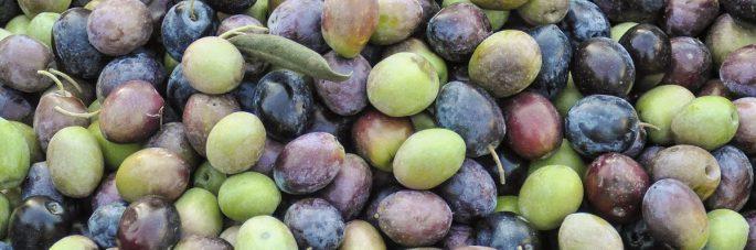 olive raccolte dopo i trattamenti con il caolino