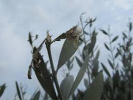 Danni della tignola sulle foglie