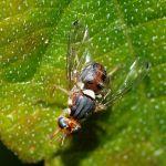 adulto di mosca dell'olivo