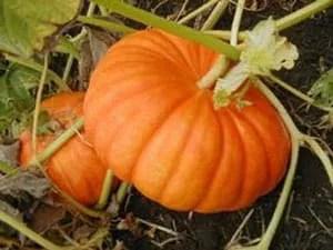 Semina dell'orto-zucca