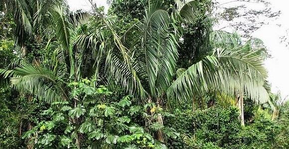 D.Kittelson-Obataua1-palmpedia.net