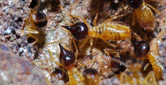 B.Dupont.2011.Termites_(Nasutitermes_corniger)_(8371245976)