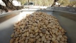 """One of the projects supported by COMDEKS in Turkey is called """"The conservation, promotion and fair trade of Datca Almonds"""" The project is focused on conserving, producing and marketing local organic almonds."""