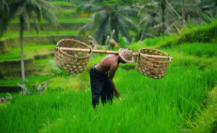 bali come2indonesia ricefield
