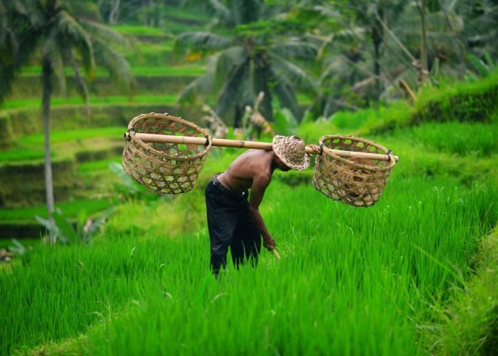 bali contacto con la naturaleza come2indonesia terrazas de arroz
