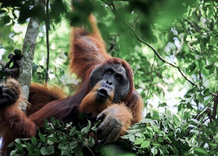 trip in sumatra orangutan tour