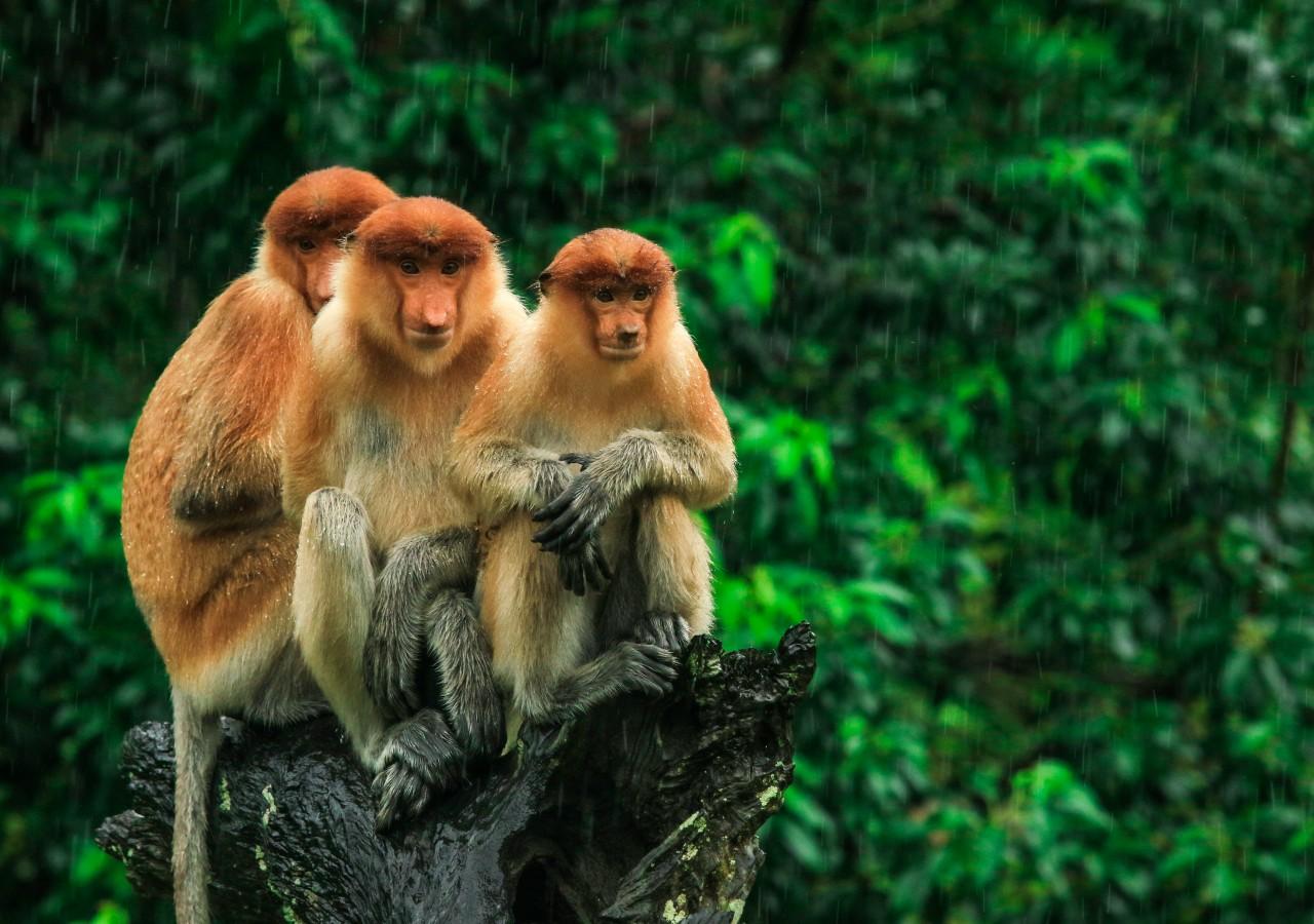 borneo orangutan tour indonesia