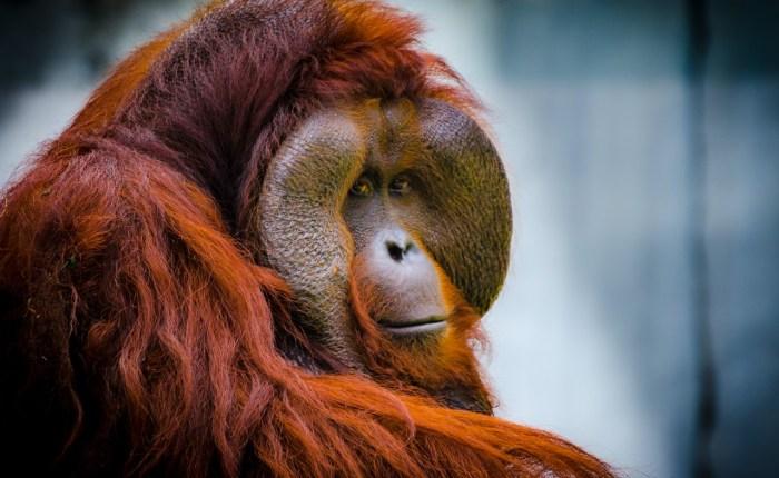 Borneo Orangutan Tour in Indonesia