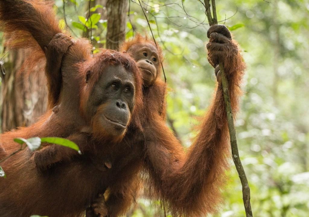 Recorridos por el orangután de Borneo en Indonesia