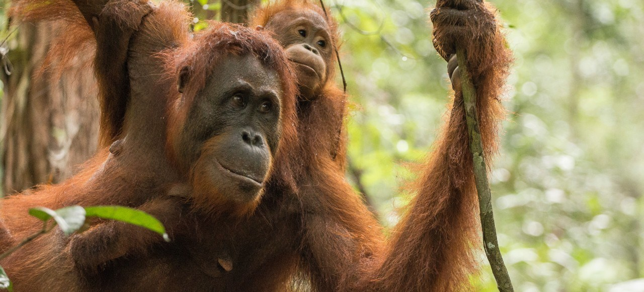 Borneo orangutan tours in Indonesia