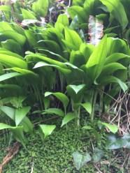 wild-garlic-3