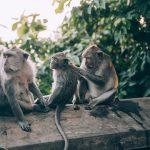 scimmie investono