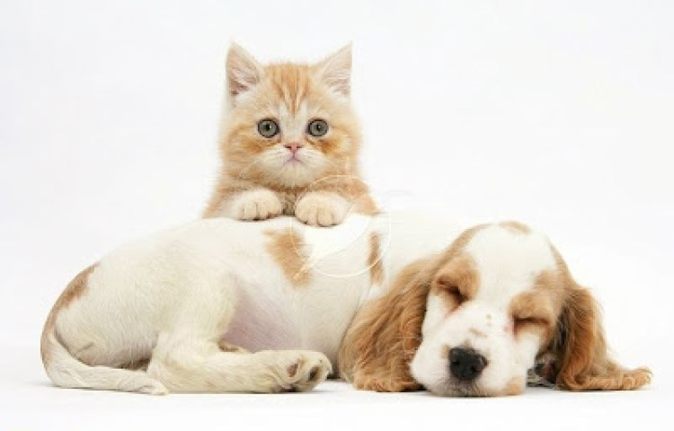 Cute-cats-and-dogs-Cocker spaniel with ginger kitten.jpg