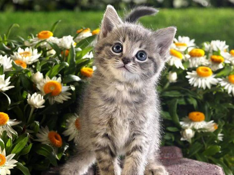 Tabby-Kitten-and-Spring-Flowers.jpg