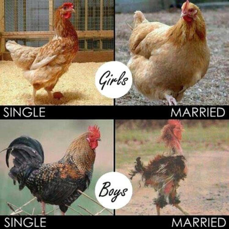 chickens-single-and-married