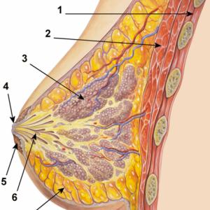 mammella aumento seno