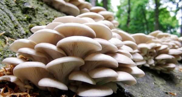 Tipos de Setas y Hongos Comestibles. México ocupa el primer lugar de producción de hongos en América Latina