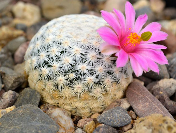 El comercio ilegal contribuye a situar a los cactus entre las especies más amenazadas del mundo – Lista Roja de la UICN
