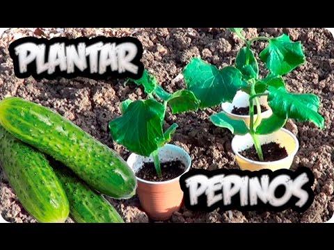 Como Plantar Pepinos En El Huerto || Cultivo Del Pepino