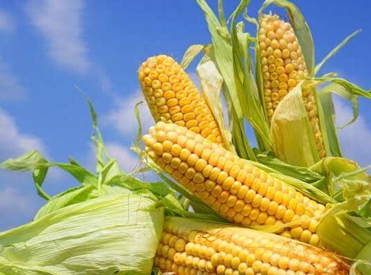 Videos: Cómo sembrar maíz. Producción y sus etapas