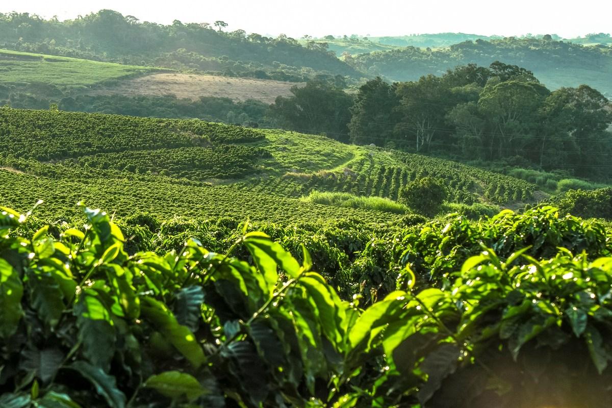 Excesso de calor na produção cafeeira: Entenda quais são as consequências!