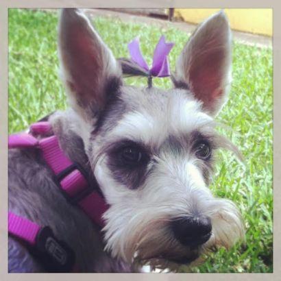 Botoneta the Schnauzer - Dog Bows