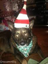 Christmas hats and bandanna's are pawsome fashion accessories!