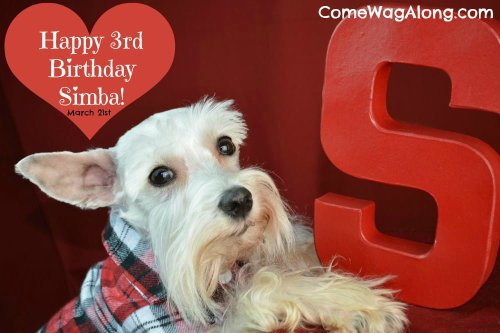 It's Simba the Mini Schnauzer's 3rd birthday!  Check out his birthday photo shoot and tell him happy birthday! - ComeWagAlong.com