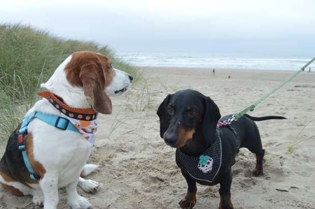 Standard Doxie wearing dog bandanna
