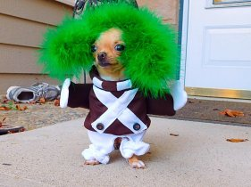 Wheels the Tiny Chihuahua - dog costumes - oompa loompa