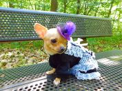 Wheels the Tiny Chihuahua - dog dresses
