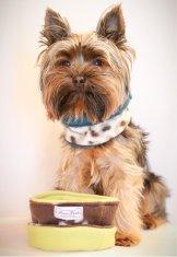 yorkie model dog