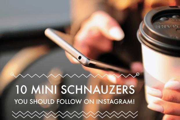 10 Mini Schnauzer Instagram Accounts You Should Follow