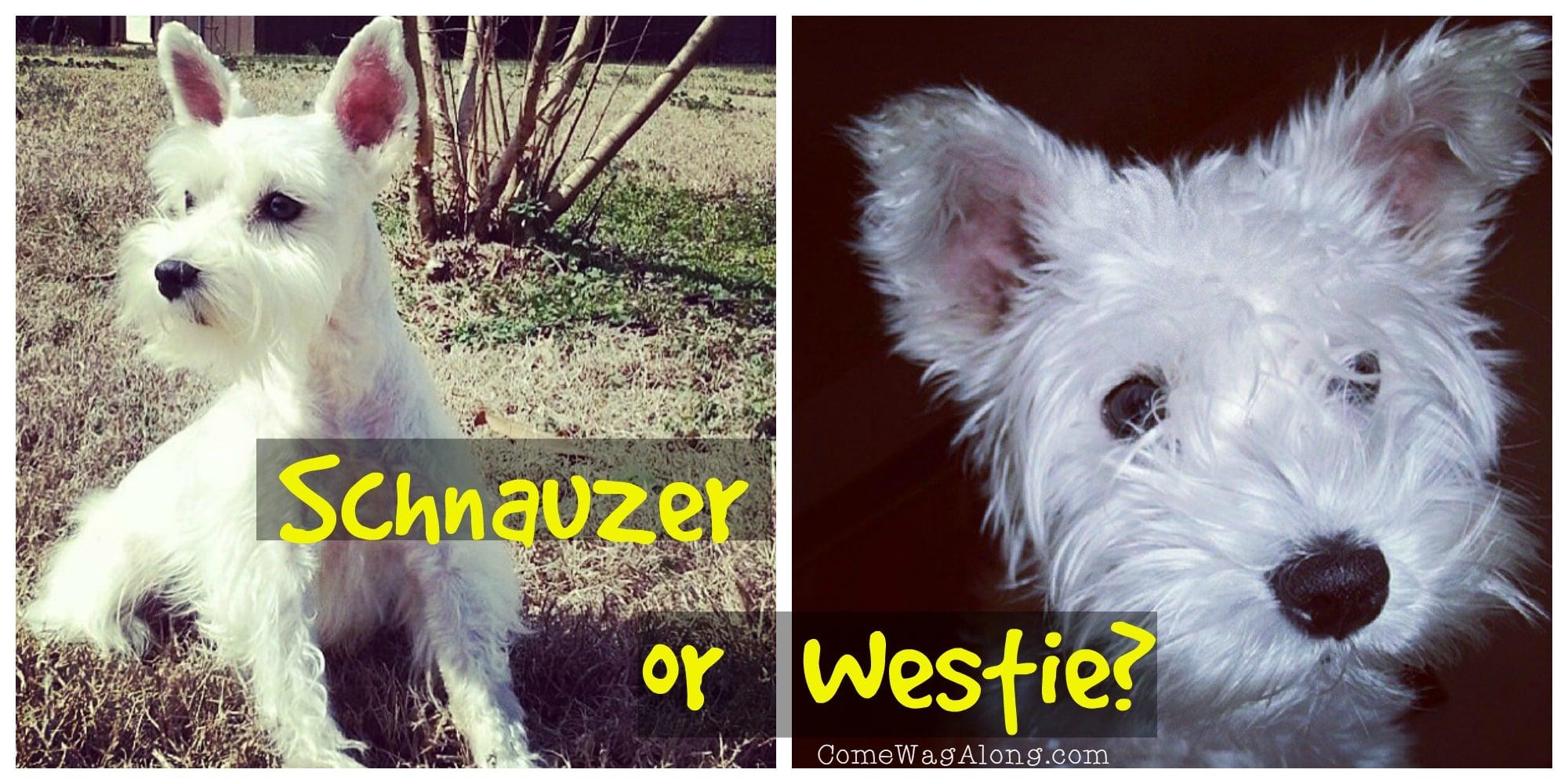 Schnauzer or Westie