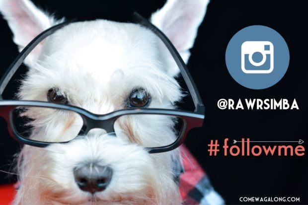 Dogs Of Instagram - Follow White Mini Schnauzer @RawrSimba