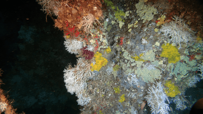 Parc National des Calanques : Monitoring of red coral populations