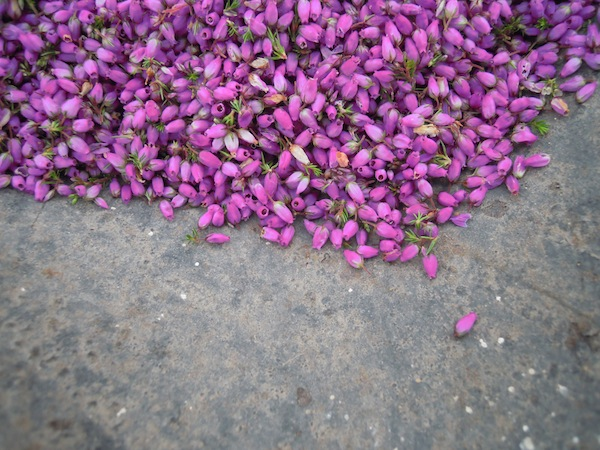 Heather tops - one of the plants that we harvested to dye with.
