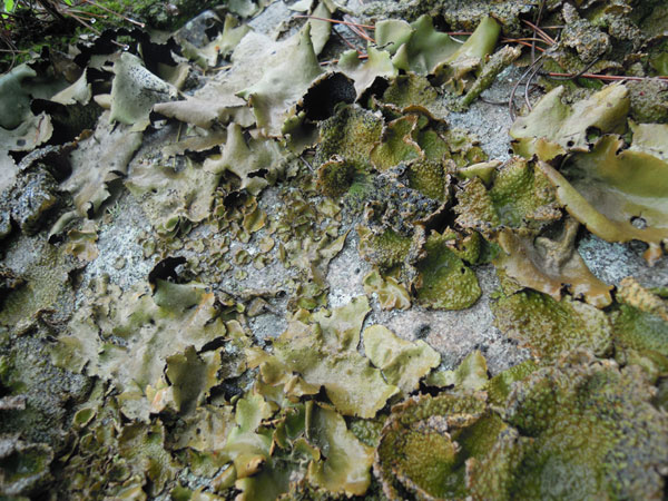 Rich texture from giant untouched lichen growths. Could be translated to undulating twills, shadows twills or even some organic overshot.